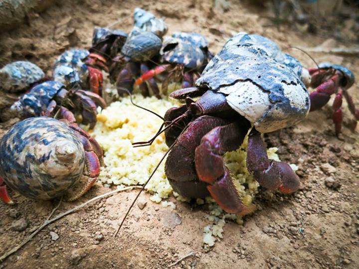 Sand crabs eating pasta